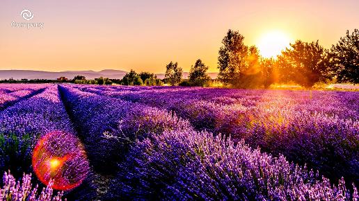 Lavender Zoom Background